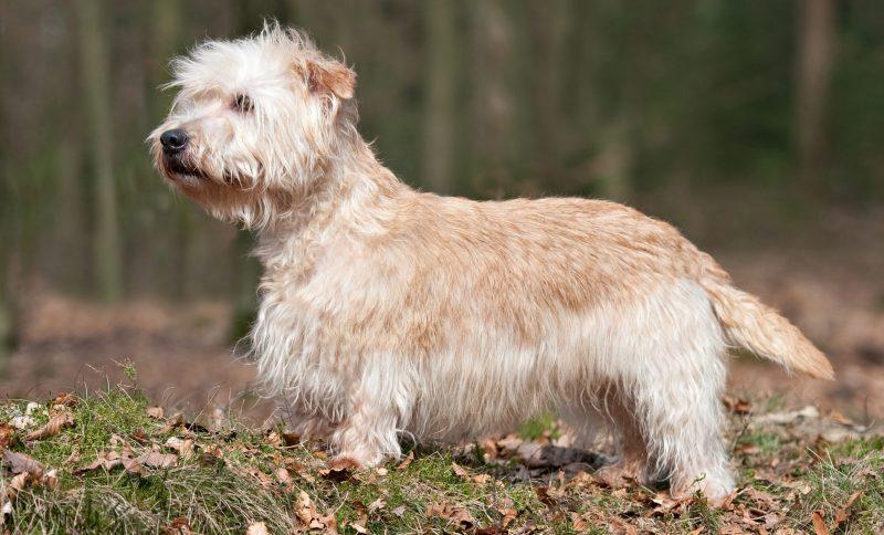 Glen-of-Imaal-Terrier-2kopie-1-e1478795626567